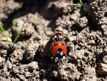 Ladybirds Mating 4 Stock Image