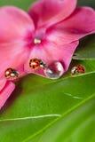 Ladybirds between water drops Royalty Free Stock Images