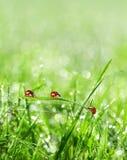 Ladybirds between water drops Stock Photography