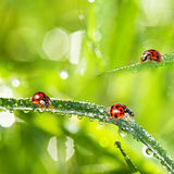 Ladybirds between water drops Royalty Free Stock Photography