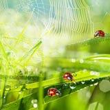 Ladybirds between water drops Stock Image