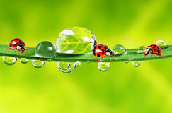 Ladybirds between water drops Stock Images
