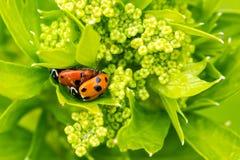 Ladybirds wpólnie na górze mój selerowej rośliny obraz royalty free
