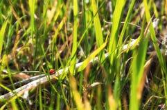ladybug λίγα Στοκ φωτογραφία με δικαίωμα ελεύθερης χρήσης