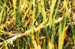 ladybug λίγα Στοκ εικόνα με δικαίωμα ελεύθερης χρήσης