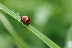 ladybug λίγα Στοκ Φωτογραφία