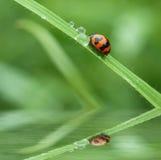 ladybug λίγα Στοκ φωτογραφίες με δικαίωμα ελεύθερης χρήσης