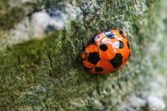 ladybug λίγα Στοκ Εικόνες