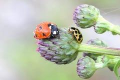 Ladybug, λαμπρίτσα και ladybeetle Στοκ εικόνες με δικαίωμα ελεύθερης χρήσης