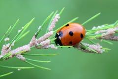 Ladybug, λαμπρίτσα, που τρώει τα αυγά σκώρων στο aspargus Στοκ Φωτογραφίες