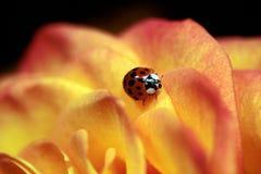 ladybug αυξήθηκε Στοκ φωτογραφία με δικαίωμα ελεύθερης χρήσης