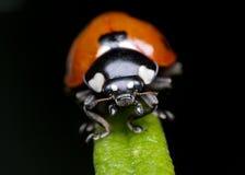 ladybug δεντρολίβανο Στοκ φωτογραφία με δικαίωμα ελεύθερης χρήσης