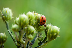 Ladybug εναντίον των κόκκινων δασικών μυρμηγκιών Στοκ Εικόνα