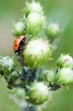 Ladybug εναντίον των κόκκινων δασικών μυρμηγκιών Στοκ φωτογραφίες με δικαίωμα ελεύθερης χρήσης
