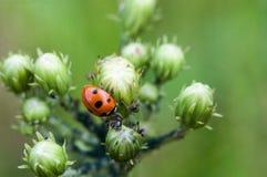 Ladybug εναντίον των κόκκινων δασικών μυρμηγκιών Στοκ εικόνα με δικαίωμα ελεύθερης χρήσης