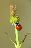 Ladybug-εχθρός του αφιδίου Στοκ Εικόνα