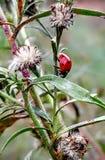 ladybug ζωή Στοκ εικόνα με δικαίωμα ελεύθερης χρήσης