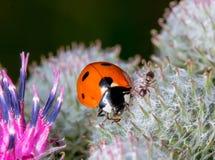 Ladybug και μυρμήγκι στον κάρδο Στοκ Εικόνες