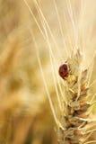 Ladybug και σίτος Στοκ Εικόνα