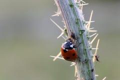Ladybug και aphids Στοκ εικόνα με δικαίωμα ελεύθερης χρήσης