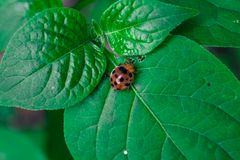 Ladybug/λαμπρίτσα Στοκ Εικόνα