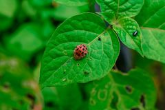 Ladybug/λαμπρίτσα Στοκ εικόνες με δικαίωμα ελεύθερης χρήσης