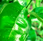 Ladybug/λαμπρίτσα Στοκ Φωτογραφίες
