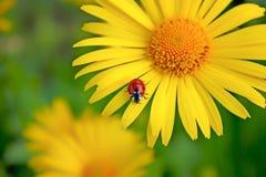 ladybug μικρός στοκ εικόνες