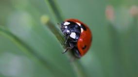 Ladybug να κρεμάσει έξω στη χλόη Στοκ Φωτογραφίες