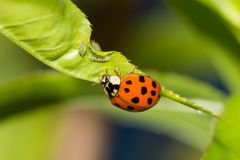 Ladybug που βρίσκονται aphids και οι προνύμφες του στοκ εικόνες