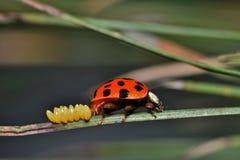 Ladybug που γεννά τα αυγά σε μια βελόνα πεύκων Στοκ φωτογραφία με δικαίωμα ελεύθερης χρήσης