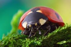 Ladybug που σέρνεται στο βρύο στοκ φωτογραφία