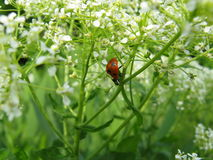 Ladybug που τρέχει εμπρός στην πράσινη χλόη Στοκ φωτογραφία με δικαίωμα ελεύθερης χρήσης