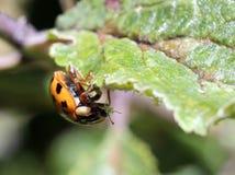 Ladybug που τρώει Aphids Στοκ Εικόνα