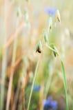 Ladybug σε έναν τομέα Στοκ Εικόνες