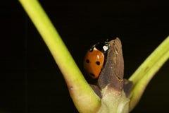 Ladybug σε έναν τρόπο Στοκ Εικόνες