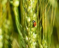Ladybug σε ένα κεφάλι κριθαριού Στοκ Εικόνα