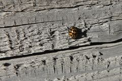 Ladybug σε ένα υπόβαθρο του γκρίζου παλαιού κατασκευασμένου ξύλου στοκ φωτογραφίες