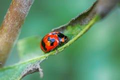 Ladybug σε ένα φύλλο Στοκ Φωτογραφίες
