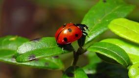 Ladybug σε ένα φύλλο απόθεμα βίντεο