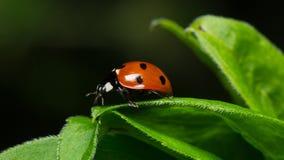 Ladybug σε ένα φύλλο στοκ φωτογραφία με δικαίωμα ελεύθερης χρήσης