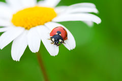 Ladybug σε ένα camomile λουλούδι Στοκ Φωτογραφία