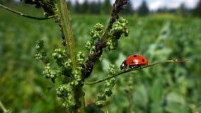 Ladybug σε εγκαταστάσεις με τα aphids Στοκ εικόνα με δικαίωμα ελεύθερης χρήσης