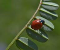 Ladybug σε μια λεπίδα της χλόης Στοκ εικόνες με δικαίωμα ελεύθερης χρήσης