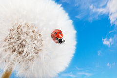 Ladybug σε μια πικραλίδα Στοκ Εικόνα
