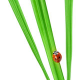 Ladybug σε μια πράσινη λεπίδα της χλόης στοκ φωτογραφία