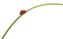 Ladybug σε μια πράσινη λεπίδα της χλόης στοκ φωτογραφίες