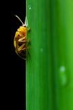 Ladybug σε μια πράσινη μακροεντολή φύλλων Στοκ Φωτογραφίες