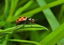 Ladybug σε μια χλόη Στοκ Εικόνες