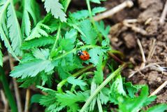 Ladybug στα πράσινα φύλλα στοκ φωτογραφία με δικαίωμα ελεύθερης χρήσης